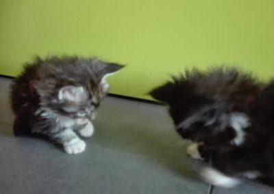 Coon Kitten
